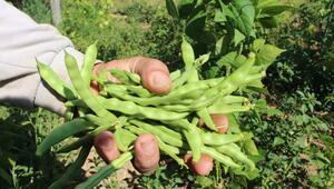 Bilecikin tescilli ürünü boncuk fasulyede hasat başladı