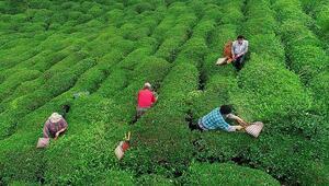 ÇAYKURdan yaş çay alımı açıklaması