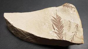 Beydağlarında 65 milyon yıllık bitki fosili