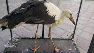 Bacağından yaralanan leylek tedavi altına alındı