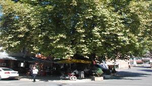 404 yıllık anıt çınar ağacının altında serinliyorlar