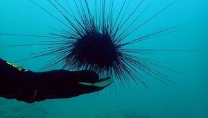 Zehirli deniz kestaneleri, Doğu Akdeniz turizmini tehdit ediyor
