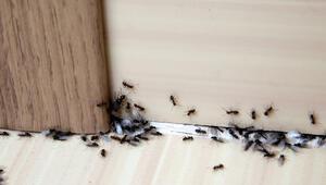 Evinizdeki karıncaları nasıl kovabilirsiniz İşte pratik yöntemler...