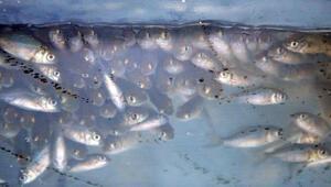 Denizlide 117 bin yavru sazan göletlere bırakıldı
