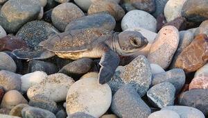 Kumsal temizliği yapanlara deniz kaplumbağası sürprizi