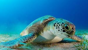 Dalgıçların ilgi odağı kaplumbağa; Hürrem