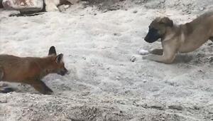 Tilki ve Kangal köpeğinin dostluğu kamerada