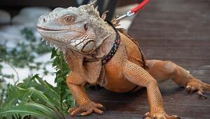İguanaya sevgi tedavisi