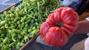Çanakkalede yetişen 1 kilo 120 gramlık domates büyüklüğüyle şaşırttı