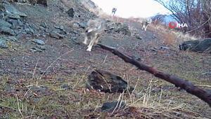 Bayburt'ta kurt sürüsü fotokapanla görüntülendi