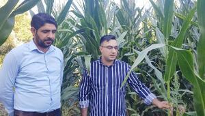 Karakoçanda silajlık mısır hasadı başladı