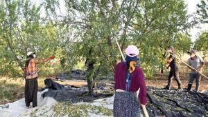 Badem diyarı Adıyaman'da hasad başladı