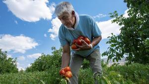 Ayaş domatesi tohumu yurt dışı yolunda