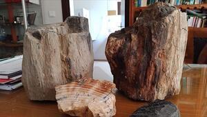 Türkiyedeki fosil ağaç kalıntılarının yaşı 160 milyon yılı buluyor