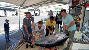 Saros Körfezinde 2 metre 17 santimlik orkinos yakalandı