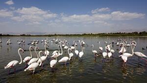 Van Gölü binlerce flamingoya ev sahipliği yapıyor