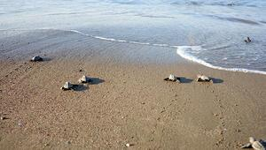 Belek kumsalında rekor: 3 bin 200 yuva, 75 bin yavru
