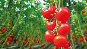 Yerel tohumlar tüketiciyle buluşuyor