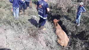 Bataklığa saplanan inek, iş makinesiyle kurtarıldı