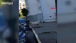 Çekmeköyde keçinin boynuz darbeleriyle otomobile zarar vermesi kamerada