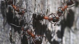 Türkiyede karınca çeşitliği üzerine araştırma başlatıldı