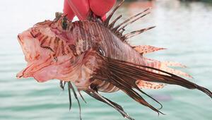 Bu balık hem zehirli hem lezzetli