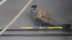 Elektrik akımına kapılan maymun, hayata döndürüldü