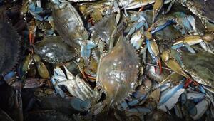 Balıkçıların korkulu rüyası, restoranların ve turistlerin gözdesi