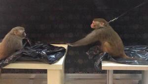 Muğlada Rhesus cinsi 2 maymuna el konuldu