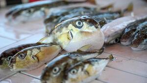 Antalyada şok iddia: Balon balığı mezgit diye satılıyor Vatandaşlar tedirgin...