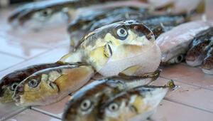 Balon balığının mezgit diye satıldığı iddiası vatandaşı tedirgin etti