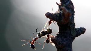 Kırmızı orman karıncaları koruma altına alındı