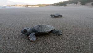 Patarada 22 bin yavru caretta caretta denizle buluştu