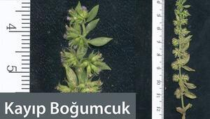 Kayıp Boğumcuk Micromeria (Boğumlu Çay) bitkisi nedir