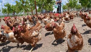 Kümes hayvancılığı üretiminde ağustos verileri açıklandı