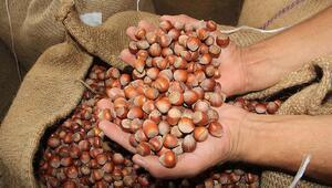 Düzceden AB ülkelerine 15,6 bin ton iç fındık ihraç edildi