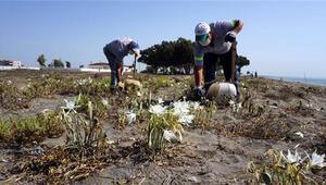 Akdeniz'de koruma altındaki kum zambaklarının bulunduğu bölgede temizlik