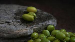 Edremit Körfezinde kırma zeytin mesaisi başladı
