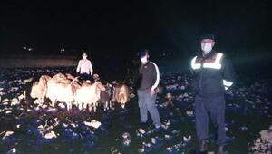 Kaybolan koyunları, jandarma buldu