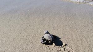 Marmarada şaşkınlık yaratan keşif: Caretta caretta yuvası bulundu