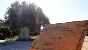 1300 yıllık zeytin ağacının ürünleri, Cumhurbaşkanı Erdoğana hediye edilecek