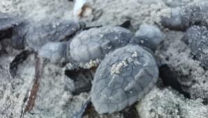Çanakkale'de ilk kez caretta caretta yuvası tespit edildi
