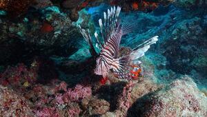 Doğu Akdeniz'e artık Kızıldeniz balık türleri hakim