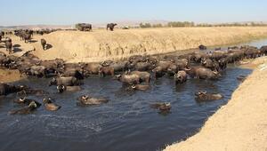 Burası Afrika bozkırları değil Afyonkarahisar