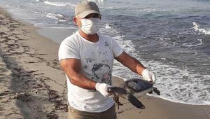 Kuşadası Körfezi'nde yeşil deniz kaplumbağası sahilde ölü bulundu