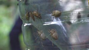 Kadıköyde kahverengi kokarca böceği kabusu
