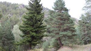Çam sakızı toplamak için ormana giden yaşlı adam ölü bulundu