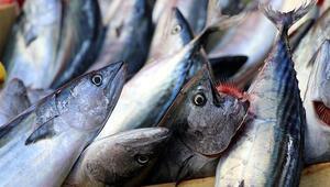 Palamut bolluğu Rizeli balıkçıları mutlu etti