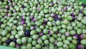 Edremit Körfezinde yeşil zeytin hasadı başladı