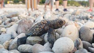 Antalyada 204 bin 591 deniz kaplumbağası denize ulaştı